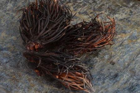 Лекарственне растение - красная щетка