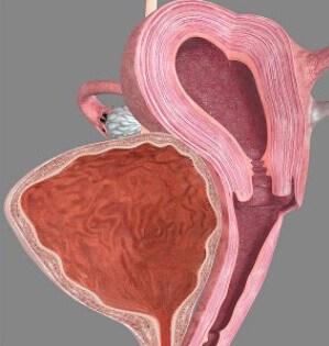 Женские репродуктивные органы в разрезе