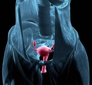 Строение и функционирование женских репродуктивных органов