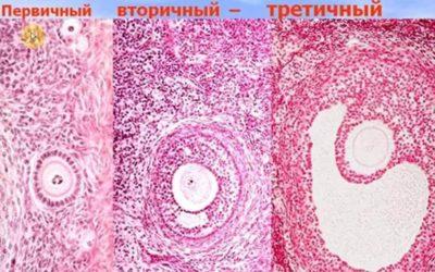 Особенности строения фолликулов яичника